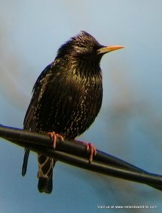 Starling phonescoped through the Olivon T650 spotting scope