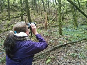 Watching an Irish jay in West Cork woodland
