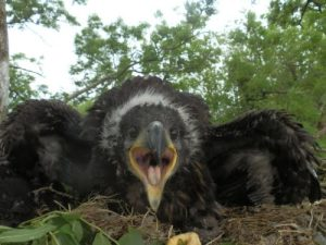White tailed eagle chick mountshannon