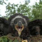 Irish white-tailed eagles hatch chicks in four counties