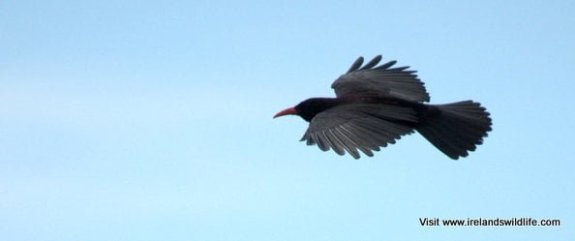 West Cork chough
