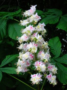 The horse chestnut flower uses coloured spots to communicate with pollinators.