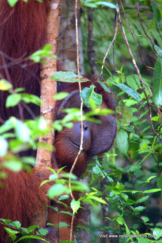 An adult male Borneo orangutan