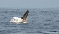 The humpback just kept breaching