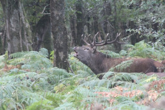 Bellowing red deer stag Killarney