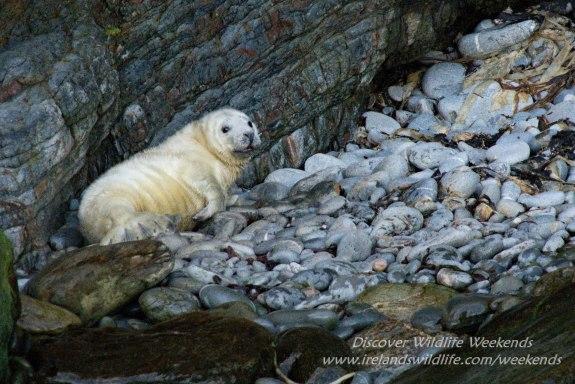 Baby seal Ireland