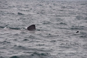 Basking Shark West Cork