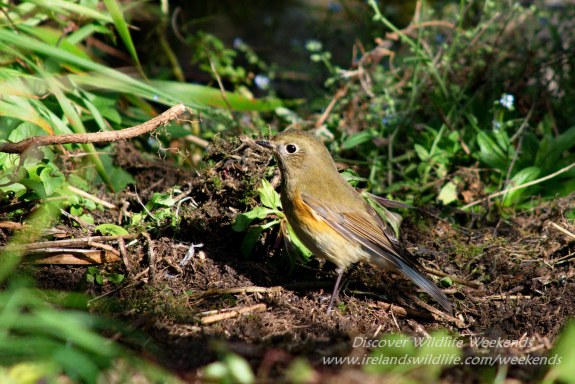 Red-flanked bluetail, West Cork