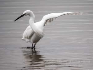 "Little egret ""dancing"""
