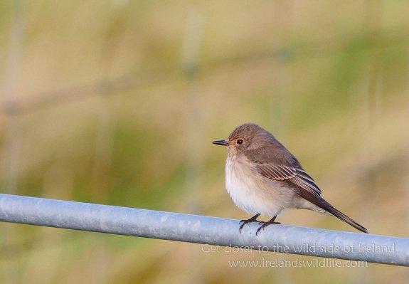 Spotted Flycatcher, Shetland