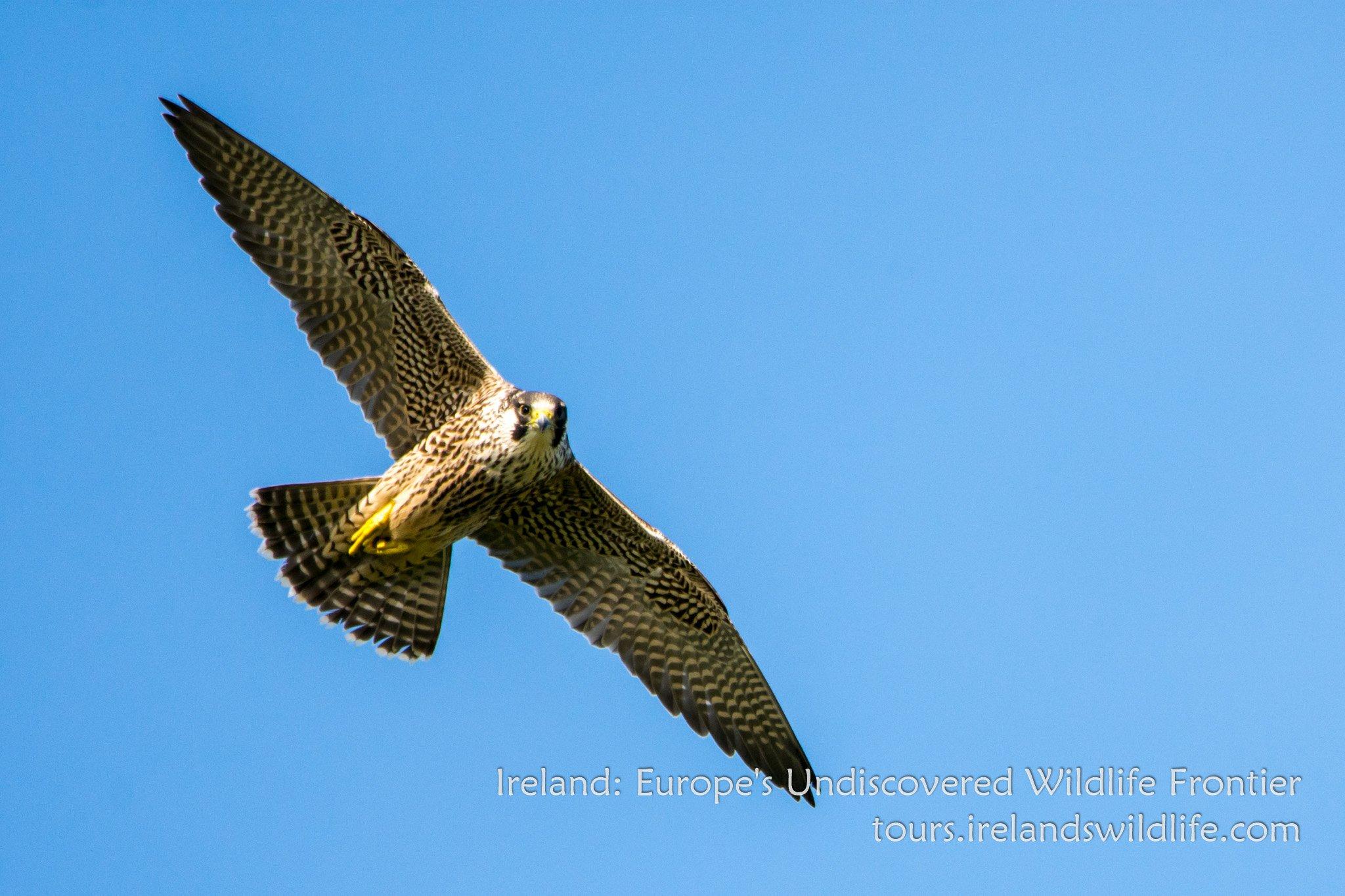 See Peregrine Falcon, the fastest bird on earth, on an Irish wildlife holiday on the Wild Atlantic Way