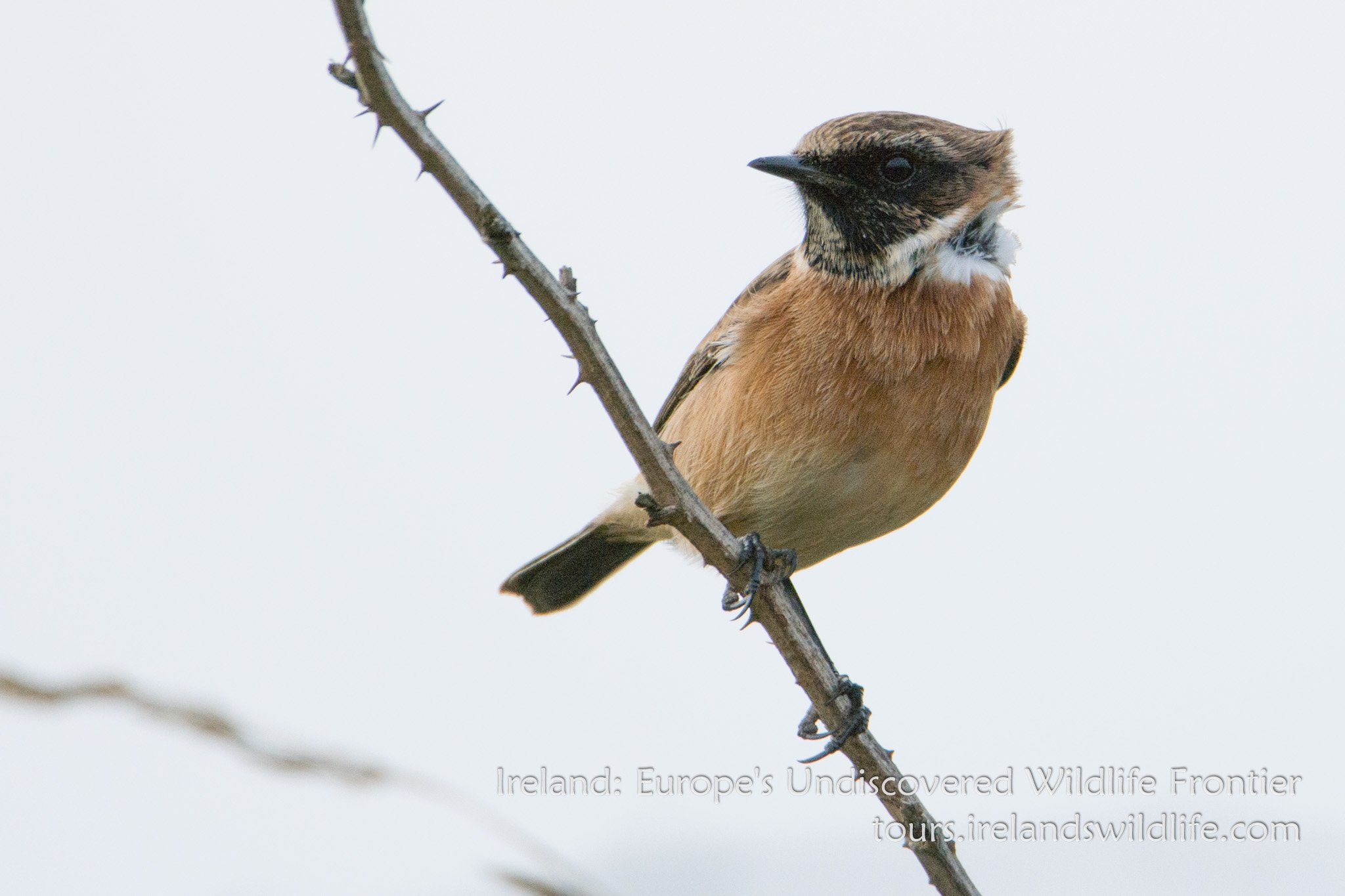Stonechat: wildlife and bird watching short breaks and holidays