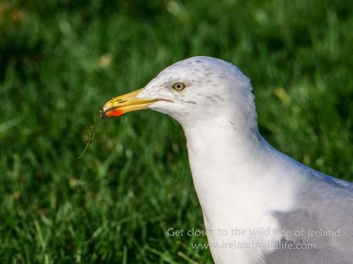 Herring Gull Portrait