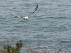 Fulmar in flight Lumix G9