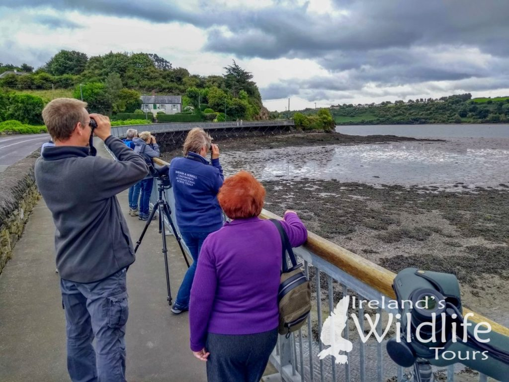 Wildlife Holiday Europe: watching Bottlenose Dolphins, Otter and Harbour Seal in Kinsale