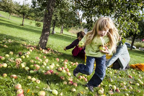 Apfelbäume auf der Streuobstwiese im Elbauenpark professionell geschüttelt