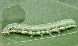 Farmers more equipped to deal with Beetarmy worm