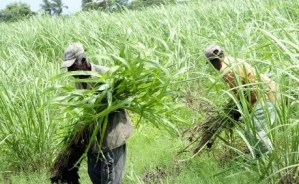 Chairman of Cane Farmers Association wants government to place more emphasis on rural development