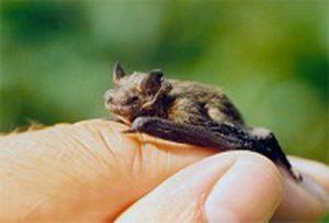 il-pipistrello-piu-piccolo-del-mondo