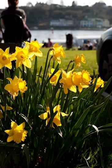Daffodils in Killaloe