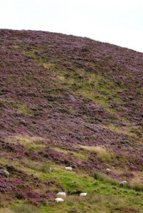 Heather carpeted mountain