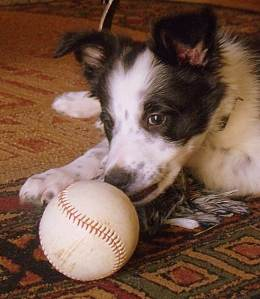 Border Collie puppy with ball