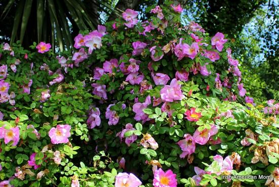 The rose as a symbol of ireland irish american mom wild irish roses mightylinksfo Image collections