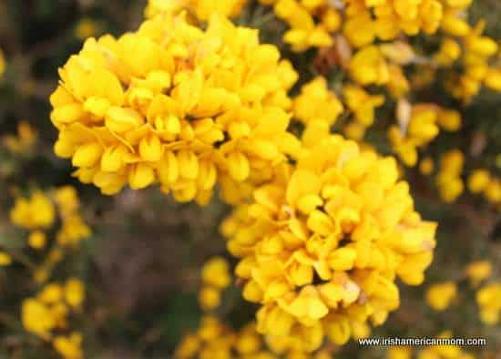 Flowers of the ulex plant or furze