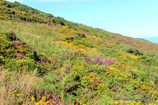 Furze and heather growing on the Hill of Howth