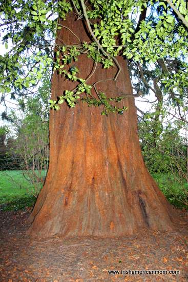Redwood Tree in Corkagh Park