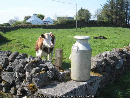 Cow looking at a milk churn on a churn stand in Ireland