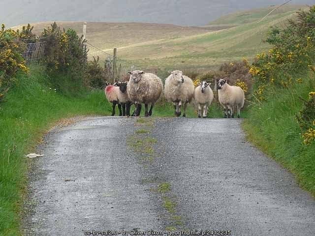 Irish Traffic Jam - sheep on a country road