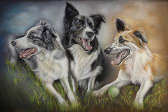 Portrait of Border Collies