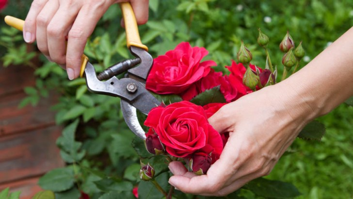 March is the month for rose pruning in your garden