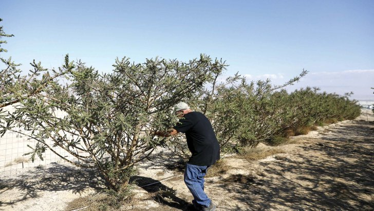 Frankincense's future: An ancient gift endangered