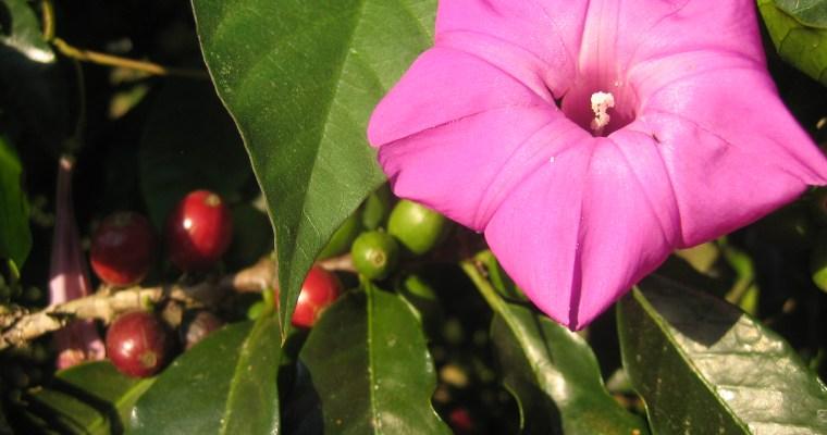 Our new, PHOENIX Roast Coffee, from Batzchocola, Guatemala