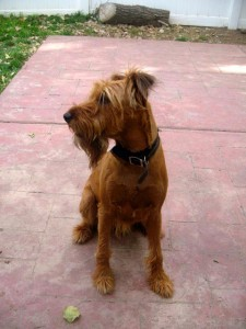 MAX in Nevada – Adopted | Irish Terrier Rescue Network