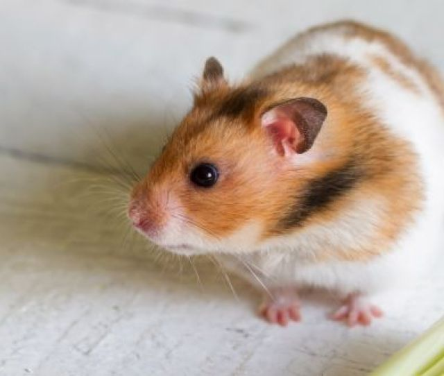 Syrian Hamsters Make Lifelong Friends What Do You Mean You Have Enough Friends