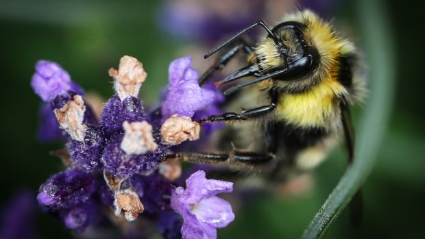 Bees on lavender in Adam Bermingham's garden in Flemingstown Park, Churchtown. Photograph: Crispin Rodwell