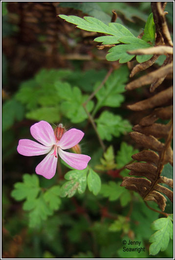 Irish Wildflowers Herb Robert