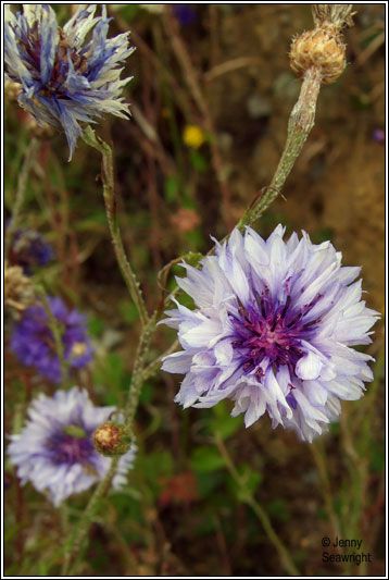 Irish Wildflowers Cornflower