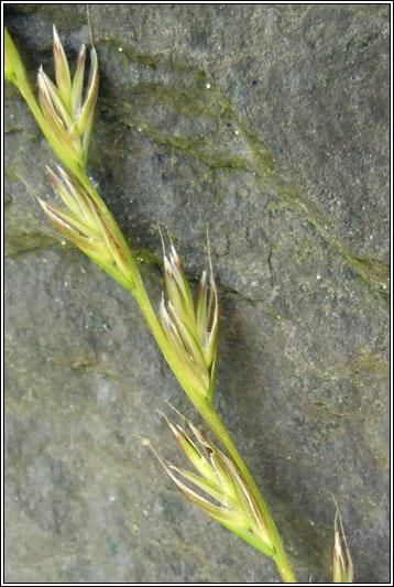 Irish Grasses Lolium X Boucheanum