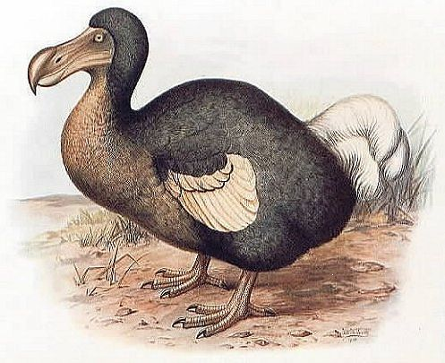 New Class of Dodo--'Anus Coulterus'--Found in North America