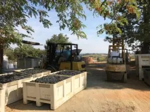 Grapes Arriving from Harvest
