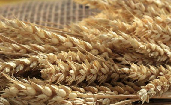 produzione biologica di cereali