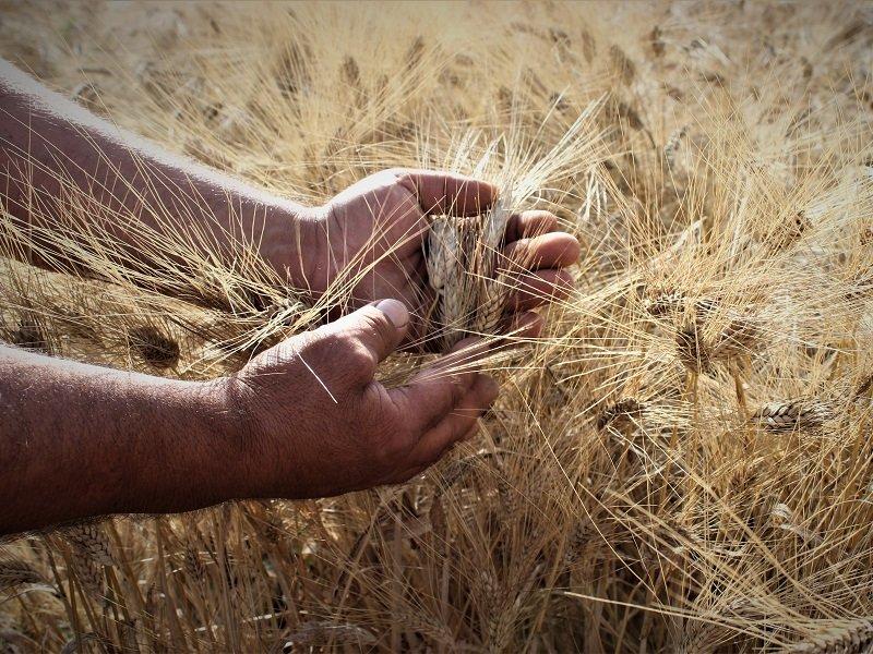 al mio paese vedo fiorire il grano calitri