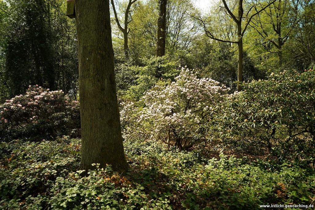 rhododendronpark bremen beginn der rhododendronbl te. Black Bedroom Furniture Sets. Home Design Ideas