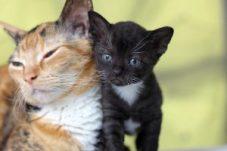 German Rex moeder en kitten bij cattery Irusan in Diemen