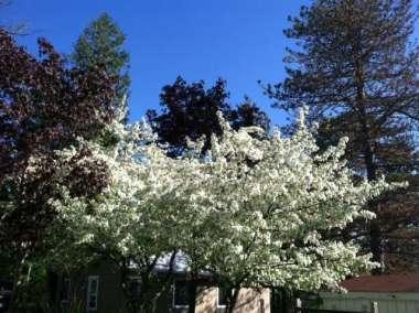 Spring Trees 2015