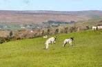 Lambs a leaping in the fiel;d behind Isaac's Byre holiday cottage.